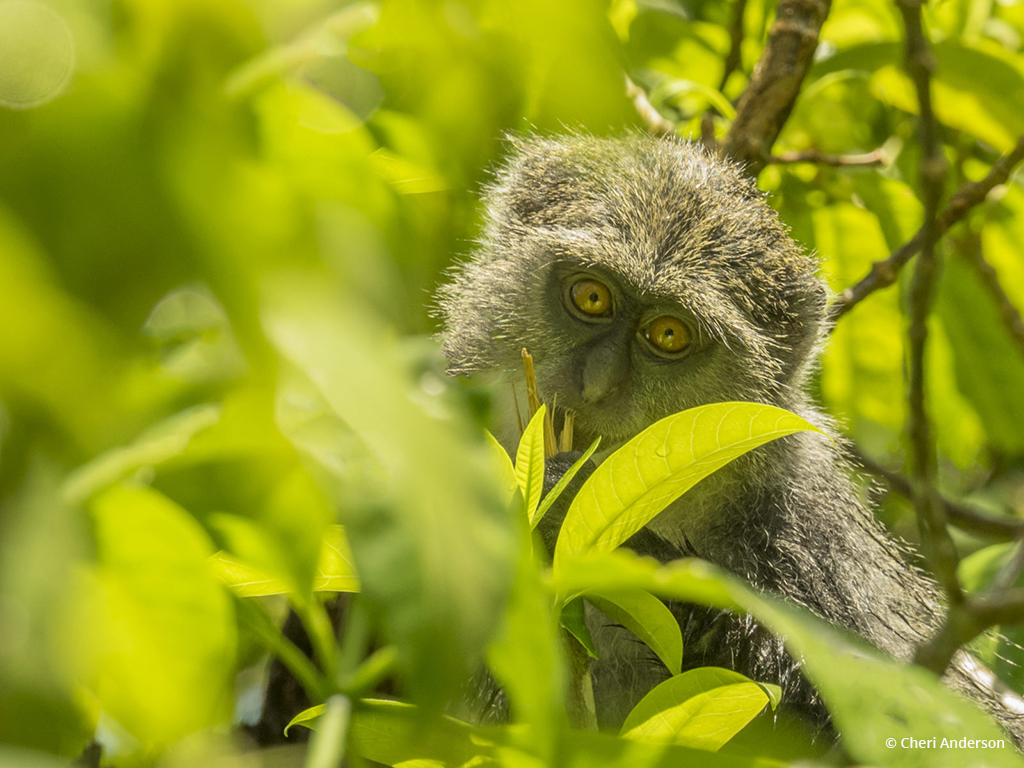 """Today's Photo Of The Day is """"I See You!"""" by Cheri Anderson. Location: Jozani Forest, Zanzibar."""
