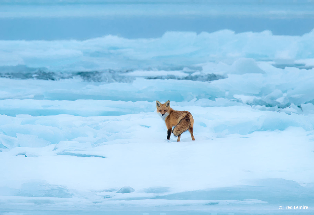 "Today's Photo Of The Day is ""Red Fox on Blue Ice"" by Fred Lemire. Location: Amherst Island, Lake Ontario, Canada."