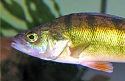 Tasty yellow perch a favorite for winter-weary anglers