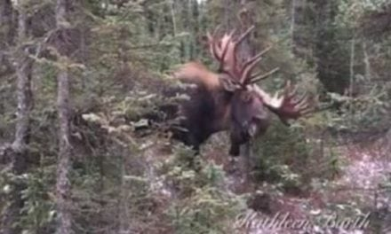 Unbelievable Footage Shows Brute of a Bull Moose