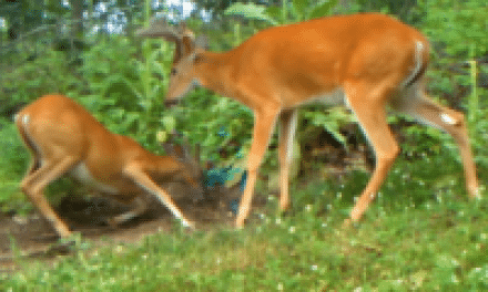 Dominant Buck Behavior Starts Early