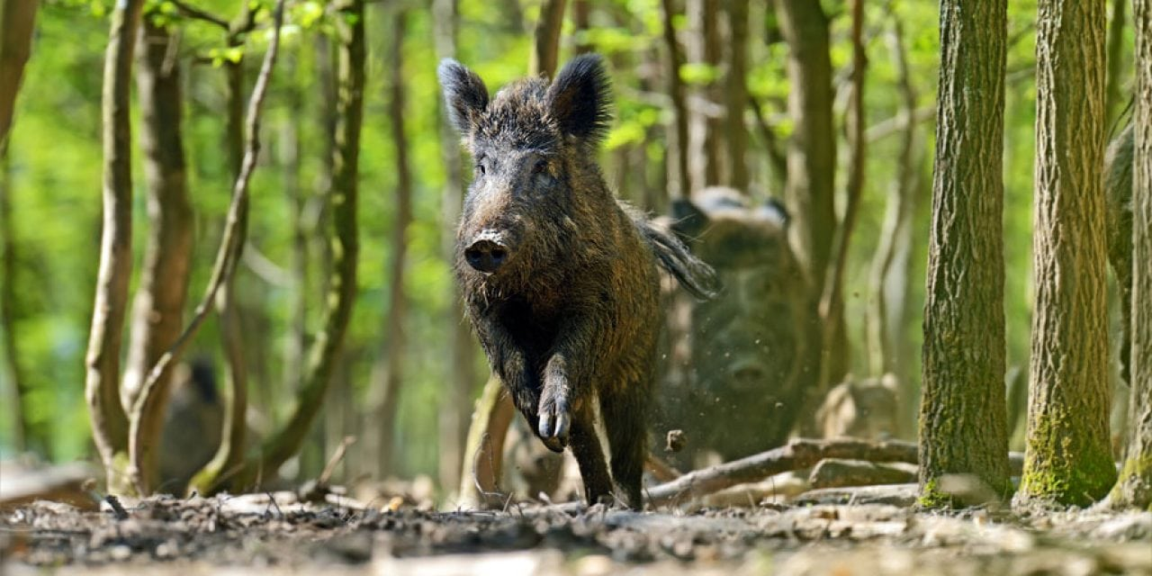 Easy Ways to Make Hog Hunting Bait in Your Own Kitchen