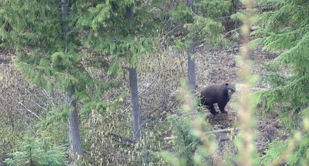 Black Bear Hunting With A Predator Call: That's One Way To Do It