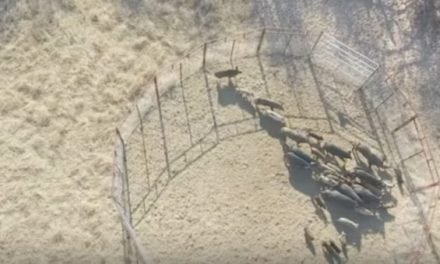 One Trap Captures More Than 50 Hogs in Texas
