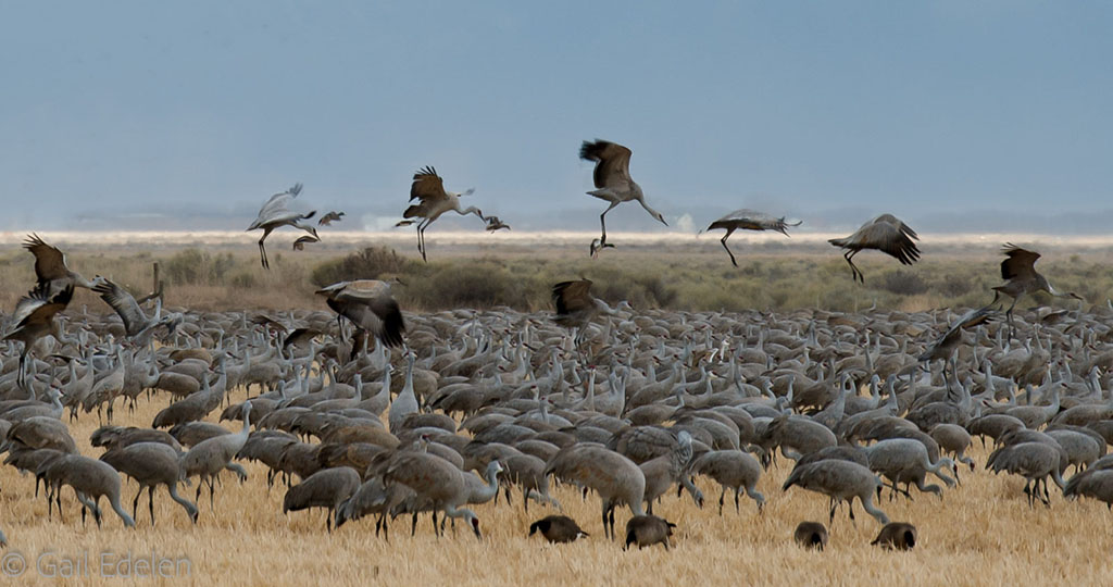 """Today's Photo Of The Day is """"Flight of the Cranes"""" by Gail Edelen. Location: Monte Vista National Wildlife Refuge, Colorado."""
