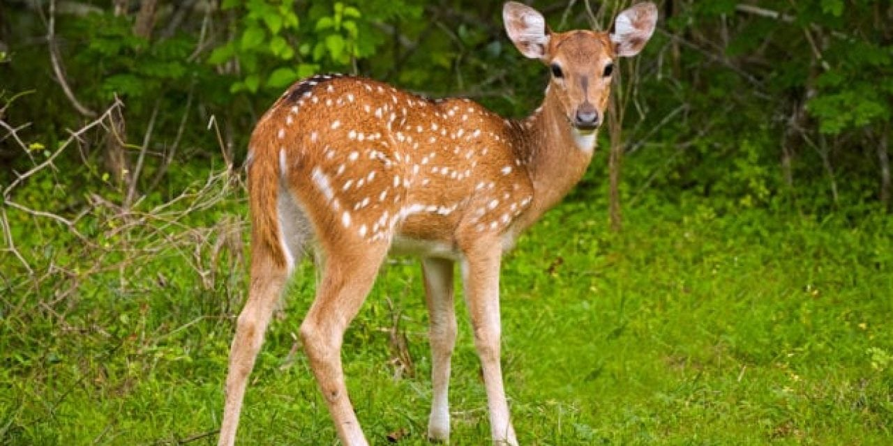 Study Looks at What Causes Most Fawn Deaths