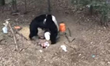 Video: Black Bears Go Toe-To-Toe in Thrilling Fight Footage