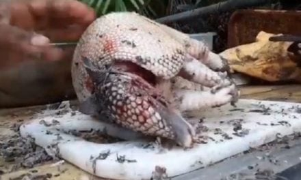 Video: Cleaning and Cooking a Florida Armadillo