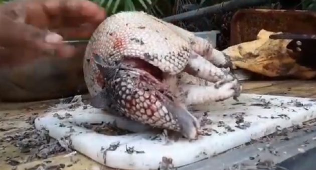 cleaning and cooking of an armadillo