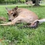 Video: Incredible Footage of a Doe Birthing 4 Fawns