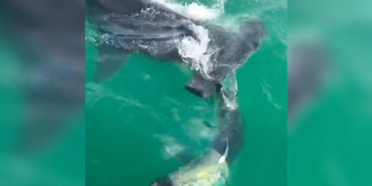 Video: Massive Hammerhead Attacks Tarpon Right at Boat