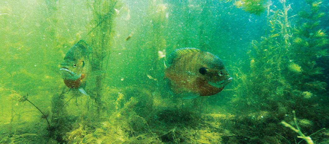 Bluegills hover over their spawning beds at Louisville State Recreation Area (SRA) where a $500,000 angler access project to install fishing piers was completed in 2012. Opposite: Biologists get an early start on a day long renovation of the fishery of Lake Ogallala.