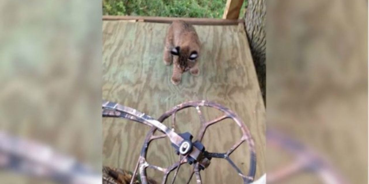 Baby Bobcats Climb Into Treestand with Deer Hunter