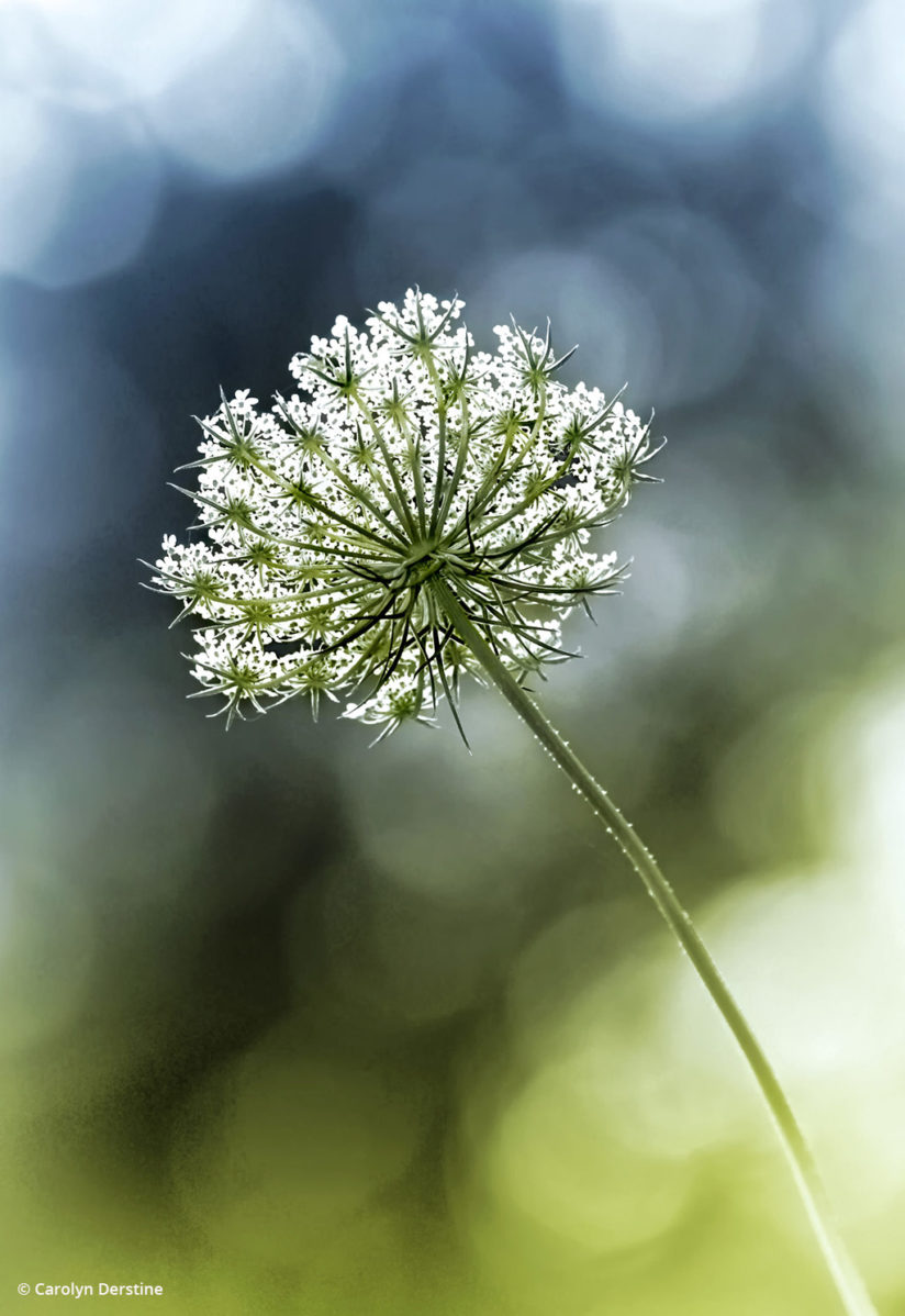 "Today's Photo Of The Day is ""Queen Anne's Lace"" by Carolyn Derstine."