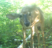 This Can't Be Fun: Insects and Deer in Summer