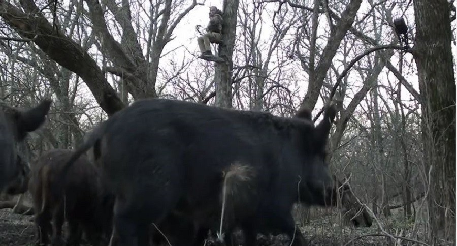 Awesome Reverse Angle Archery Shot On A Hog In Texas