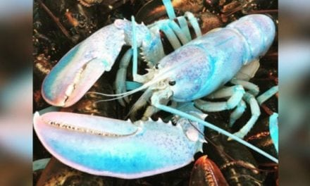 1-in-100-Million Cotton-Candy-Colored Lobster Caught