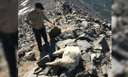 $5,000 Reward Being Offered in Colorado Mountain Goat Poaching Case