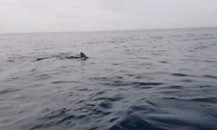Kayakers Panic as They're Eerily Followed by a Large Great White Shark