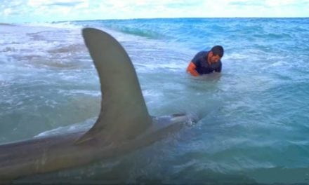 Monster Hammerheads Caught Fishing From the Beach