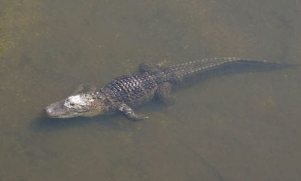 Now is Your Chance to Get in on a Gator Permit in Florida