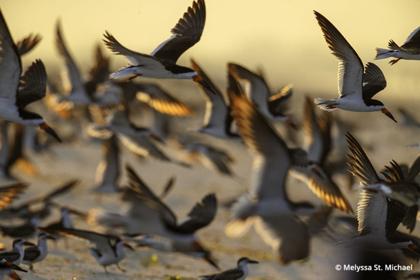 Photographing shorebirds, skimmers and terns
