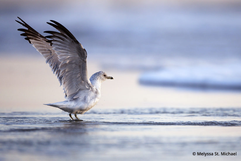Photographing shorebirds, ring-billed gull