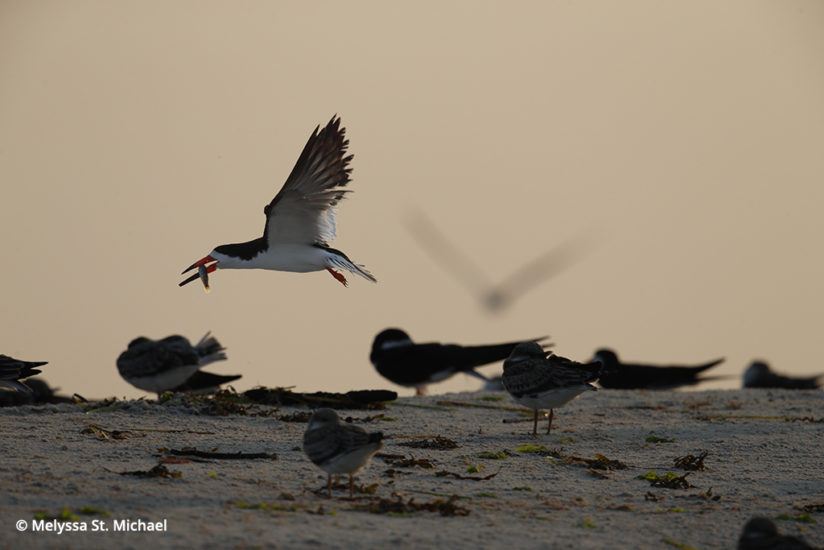 Photographing shorebirds, make black skimmer
