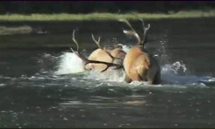 This is the Holy Grail of All Elk Fight Videos
