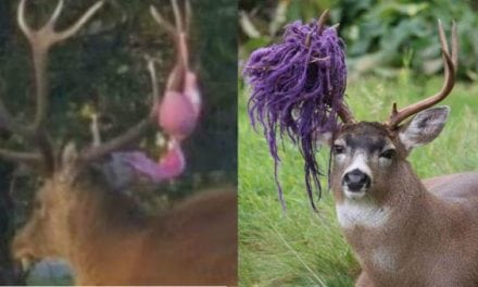 12 of the Weirdest Things Deer, Elk and Moose Have Gotten Caught in Their Antlers