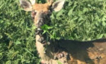 Deer Warts: What We Know About These Nasty Growths on Whitetails