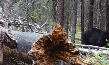 Is It Possible to Successfully Harvest Black Bears With a Blow Gun?