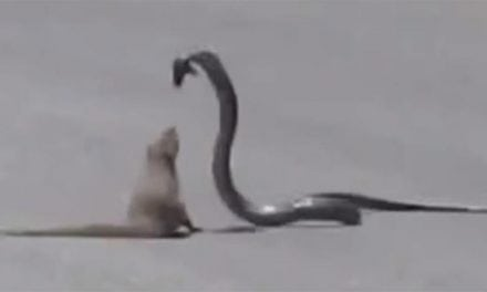 Mongoose and Cobra Fight Like Jackie Chan and Chuck Norris