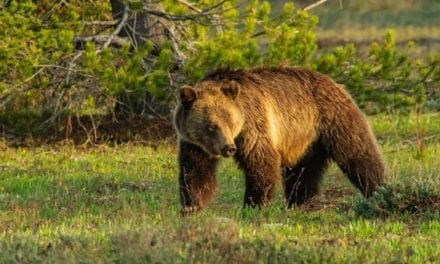 Photographer Draws a Grizzly Hunt Permit But Won't Hunt