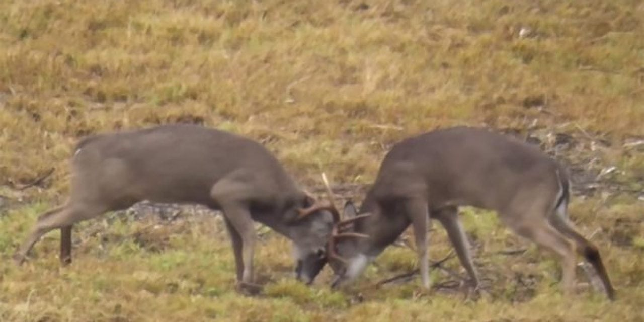 Two Bucks are Dueling During Rut When a Third Joins In