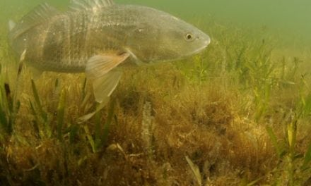 COASTAL CONSERVATION ASSOCIATION TO SUPPORT REDFISH RECOVERY
