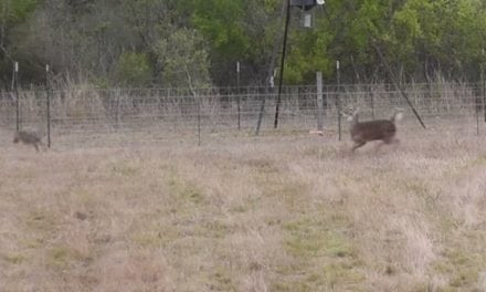 Coyotes Chase Deer Right Into Hunter's Crosshairs