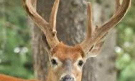 Factors that Determine When Bucks Peel Velvet