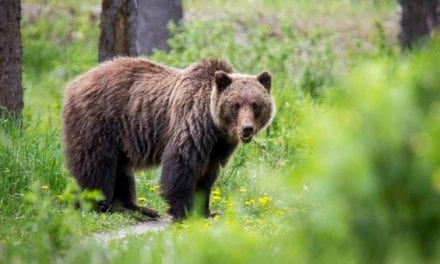 Federal Judge Blocks Yellowstone-Area Grizzly Hunt