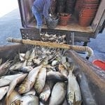 VA Has Menhaden Limits or Face Moratorium