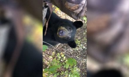 Black Bear Joins Whitetail Deer Hunter in the Tree
