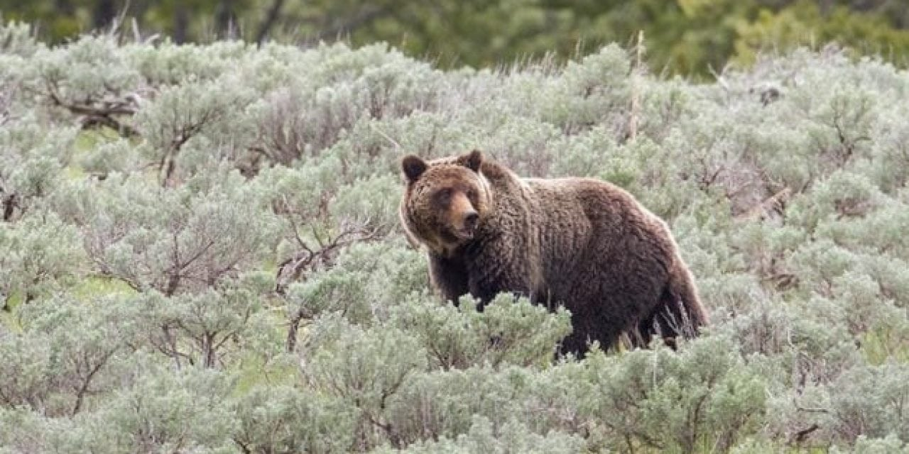 Grizzlies are Following Elk Hunters, Study Says