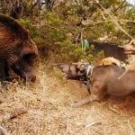 Hog Dogs: The Best Breeds for Hog Hunting