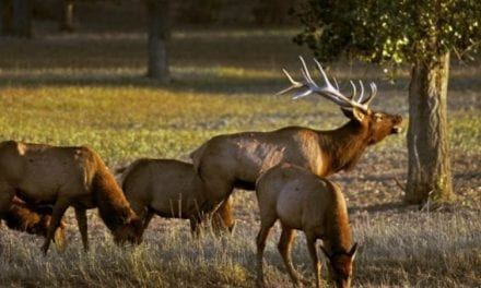 Lucky BowHunter Shoots Massive, Record Elk in Montana