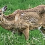 Proposal in Wisconsin Could Pay Hunters to Harvest CWD-Infected Deer