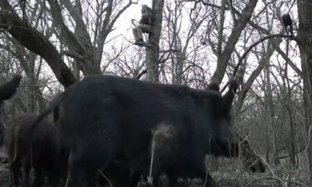 Watch This Texas Hunter's Shot From the Hog's Perspective