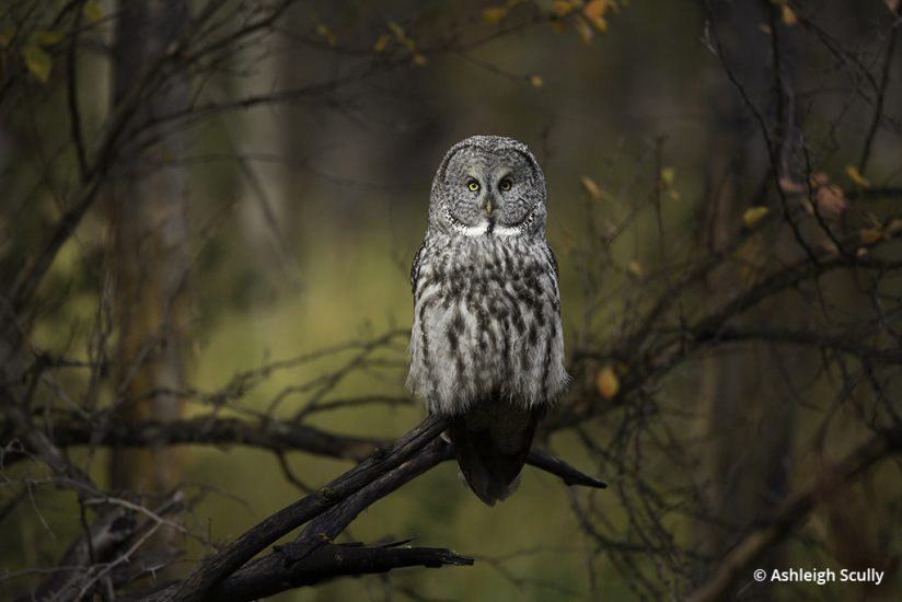 Great gray owl photo by Ashleigh Scully