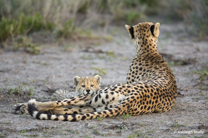Cheetah and cub photo by Ashleigh Scully