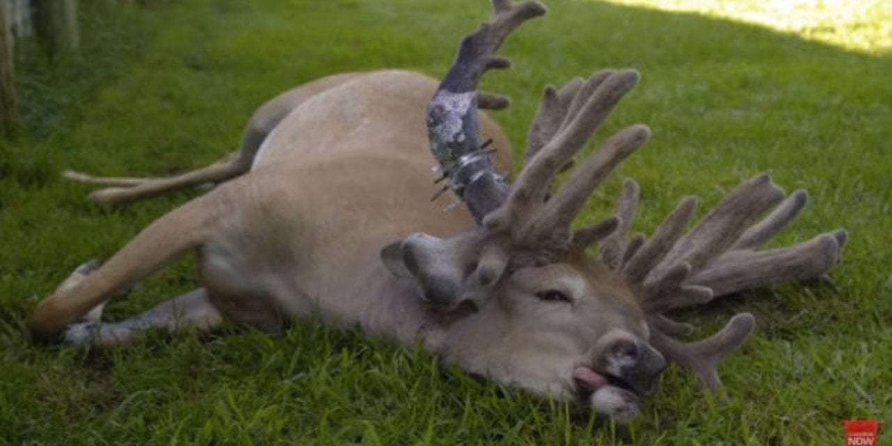 This Buck's Antler Got So Big, It Had to Be Amputated