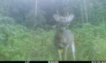 This is What Causes Small Antlers in Bucks